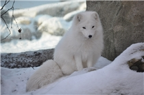 Polarfuchs im Zoo am Meer