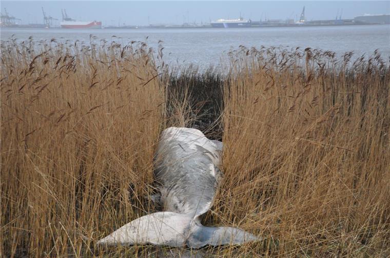 Tote In Der Weser